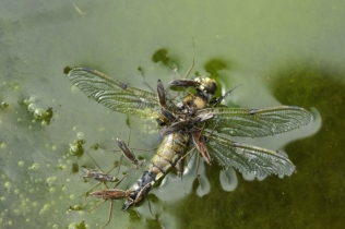 Pond skaters eating a dead dragonfly, ©Lorne Gill/SNH/2020VISION