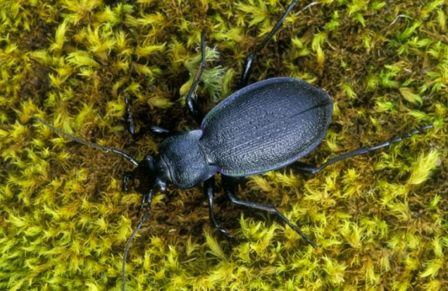 Violet Ground Beetle (Carabus violaceus), ©Laurie Campbell/SNH