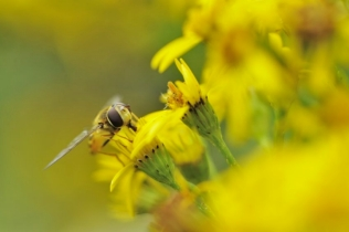 A hoverfly feeding feeding on a ragwort flower. ©Lorne Gill/SNH