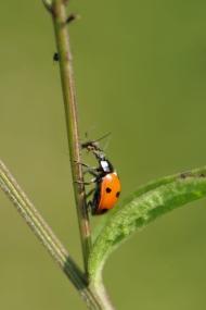 Ladybird, (C) Lorne Gill/SNH