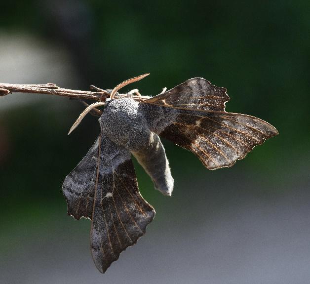 Poplar Hawkmoth ©Caroline Anderson
