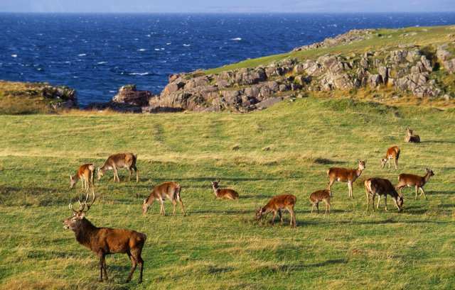 Red deer stags with hinds in rut at Kilmory on Rum National Nature Reserve.