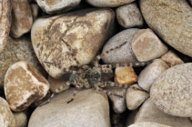 A river shingle dwelling spider, Arctosa cinerea, ©Lorne Gill
