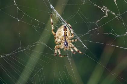 Garden Spider (Araneus diadematus)©Lorne Gill/SNH