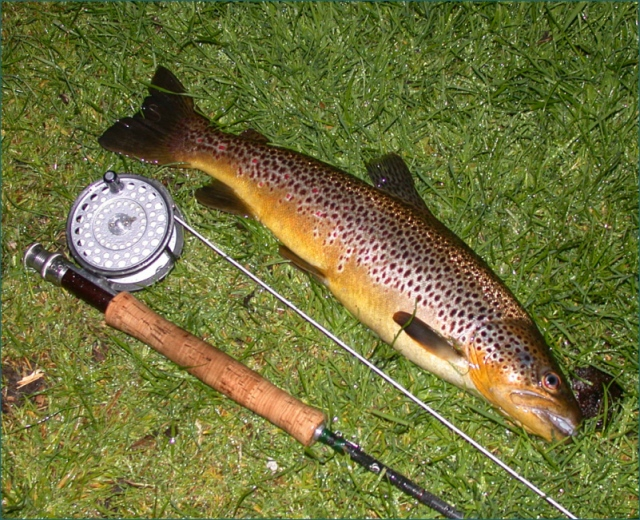 wild-brown-trout