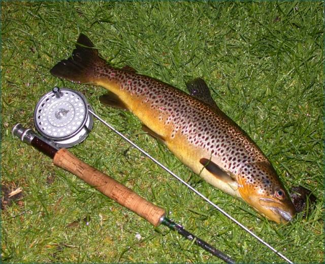 wild-brown-trout