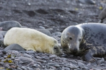 Grey seal pup with mum