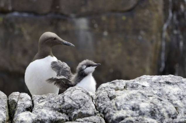 Guillemots with mum