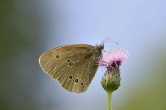 Ringlet butterfly (C) SNH