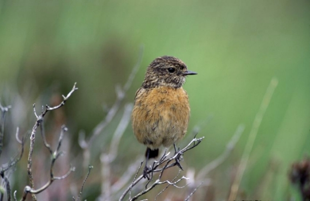 Stonechat - (C)Laurie Campbell/SNH