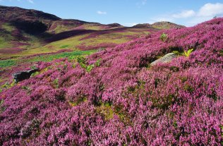 Heather moorland, Sma' Glen, Perthshire © Lorne Gill For information on reproduction rights contact that Scottish Natural Heritage Image Library on Tel. 01738 444177 or www.snh.gov.uk