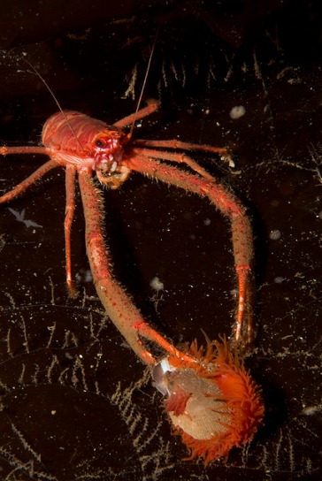 Squat lobster with flame shell