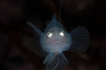 A juvenile angler fish in a cave