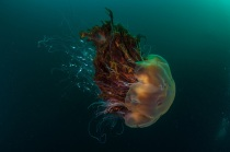 A lion's mane jellyfish in Village Bay, St Kilda