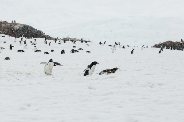 HWade - Gentoo penguins - credit Oli Sansom
