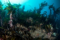 Kelp forest on bedrock reef - St Kilda