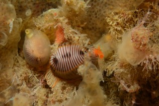 Northern cowrie and Spotted cowrie at Dun Arch, St. Kilda