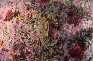 Velvet swimming crab on a carpet of pink jewel anemones and red seaweeds at Dun Arch, St Kilda