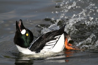 Male displaying, (C) Jo Garbutt, Creative Commons