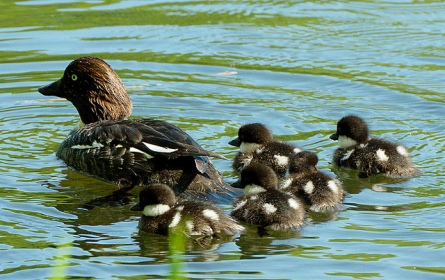 Female with chicks, (C) Stefan Berndtsson, Creative Commons