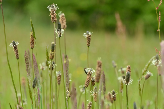 Ribwort plantain (Plantago lanceolata) growing in the Battleby meadow ©Lorne Gill/SNH