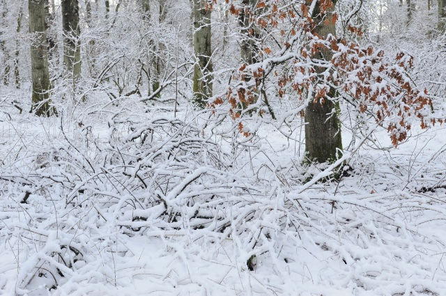 now covered woodlands, Battleby, Perthshire, January 2015. ©Lorne GIll/SNH