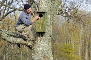 Checking a goldeneye nest box, (C) SNH/Lorne Gill