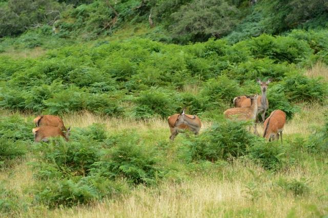Red deer (Cervus elaphus) and their calves, Ru Arisaig, Lochaber ©Lorne Gill/SNH