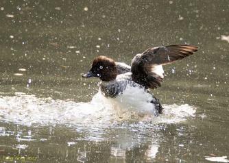 Female goldeneye, (C) Michael Brager, Creative Commons