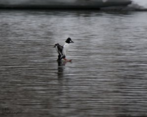 Male walking on water, (C) Michael Brager, Creative Commons