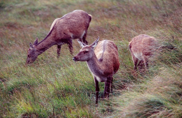 Red Deer hinds (Cervus elphus) during the rutting season, Isle of Rum NNR. West Highland Area. ©John MacPherson/SNH For information on reproduction rights contact the Scottish Natural Heritage Image Library on Tel. 01738 444177 or www.snh.org.uk