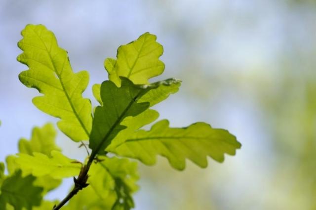 Oakwoods in springtime ©Lorne Gill/SNH