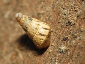 Pointed snail, (C) Katja Schulz, Creative Commons