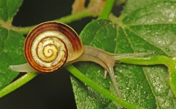 White-lipped snail, (C) Martin Cooper, Creative Commons