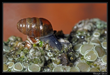 Common chrysalis snail, (C) Christophe Quintin, Creative Commons