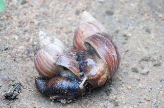Giant African snails mating, (C) Tim Ellis, Creative Commons