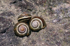Banded snails, (C) SNH/Lorne Gill
