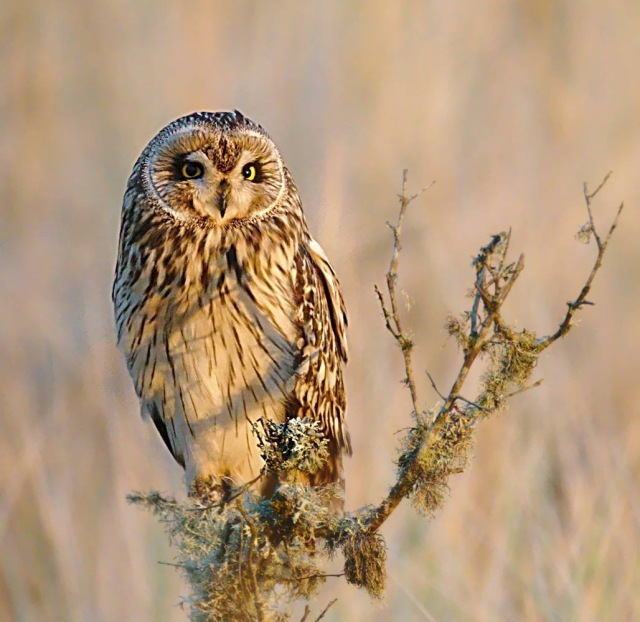 Short-eared owl 1 - copyright Ron Macdonald
