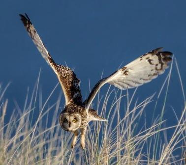 Short-eared owl about to dive on prey © RonMacdonald