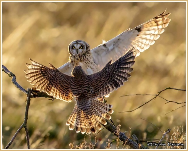 Short-eared owl - face-off between short-eared owl and kestrel trying to steal its prey - copyright Darren Dawson