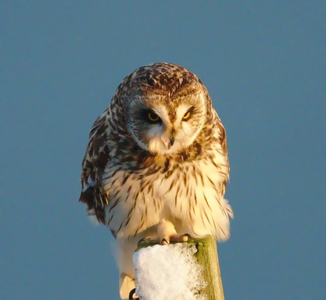 Short-eared owl - hissing - copyright Ron Macdonald