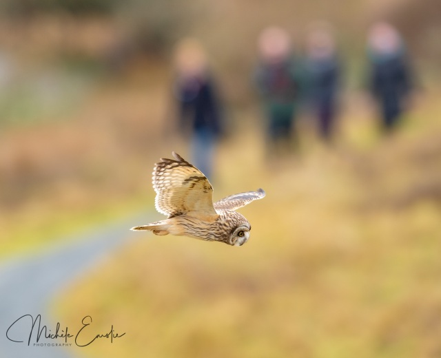 Short-eared owl hunting with visitors in the background - copyright Michele Emslie