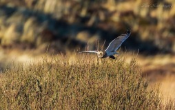 A short-eared owl making its getaway with a small rodent. © Lone Kiter