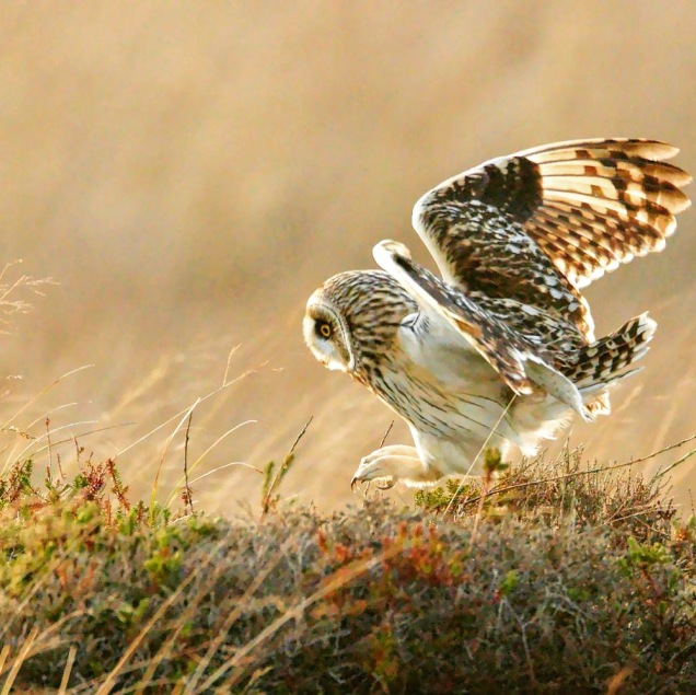 Short-eared owl pouncing on a small rodent ©Ron Macdonald
