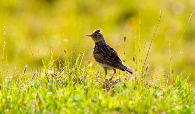 Skylark on the South Uist machair, Western Isles Area.©Lorne Gill/SNH