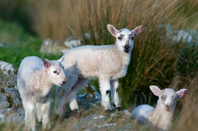 Scottish blackface lambs ©Mark Hicken/Scottish Viewpoint