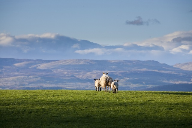 A ewe with her lambs near Auchterarder, Perthshire. Ian Paterson / Scottish Viewpoint