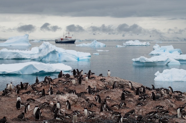 Gentoo penguin colony - credit Helen Wade