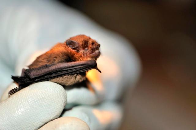 Pipistrelle bat ©Lorne Gill SNH