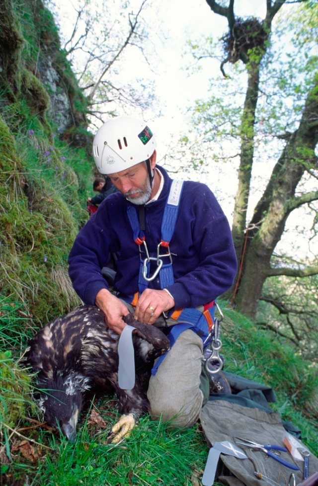 Roger Broad tagging Seea Eagle chick©Laurie Campbell/SNH
